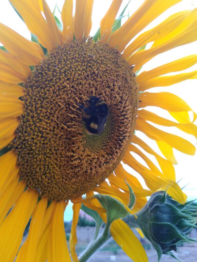 Duży okaz trzmiela na słoneczniku