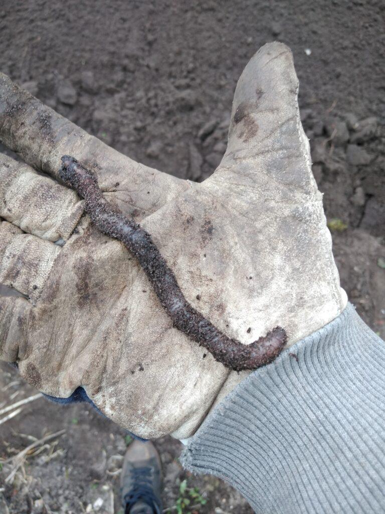 dżdżownica znaleziona podczas przekopywania ogródka