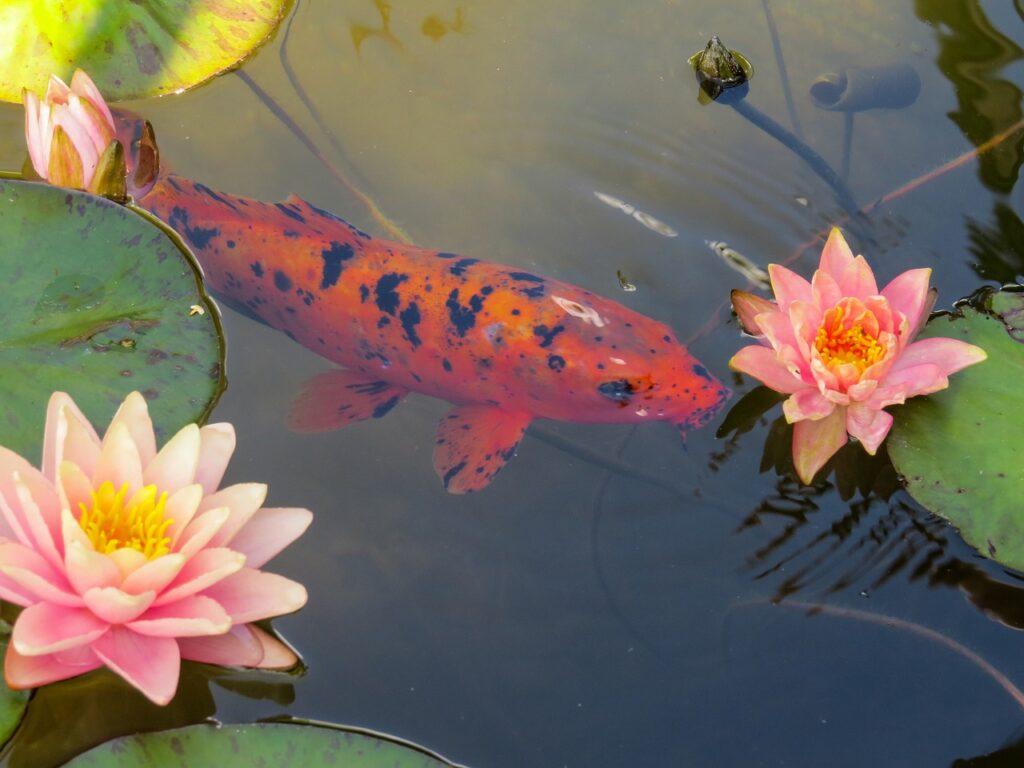 ryba pływa wśród lilii